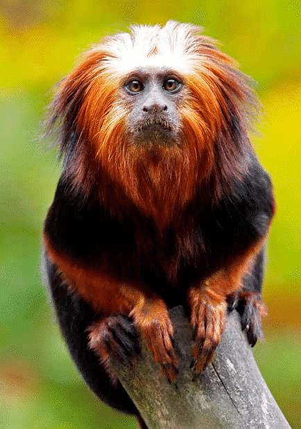 (Foto: Furuviksparken - Gyllenhuvad Lejontamarin som bor i Furuviksparkens zoo.)