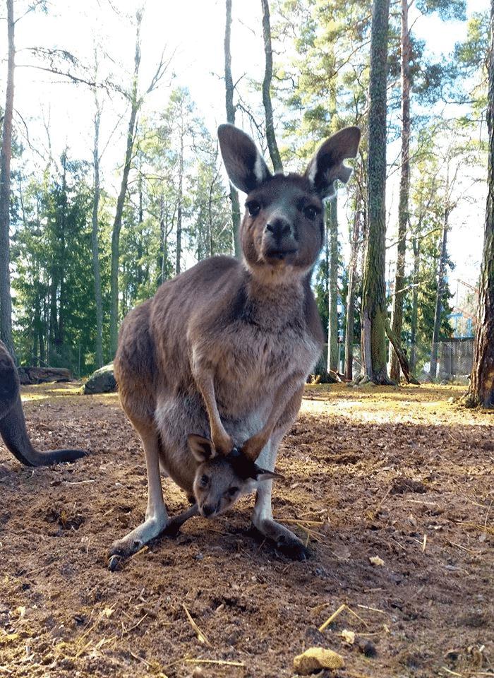 (Foto: Furuviksparken - En av parkens kängurus med sin bebis i magfickan.)